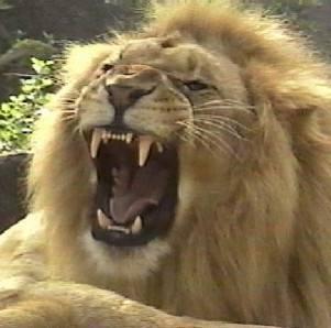 CINDA-lion_roar.jpg