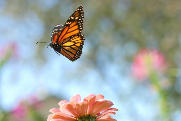 Monarch butterflies flying away - photo#8