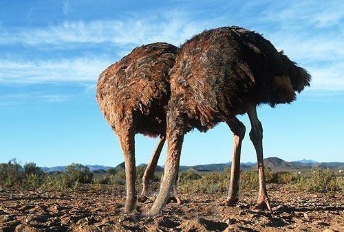Ce qu'en pense unsocialiste (Cambadélis)  Ostrich