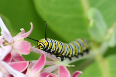 Monarch Caterpillar crawling up milkweed